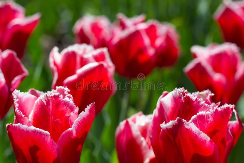 在一个花圃的五颜六色的郁金香花在城市公园 库存照片