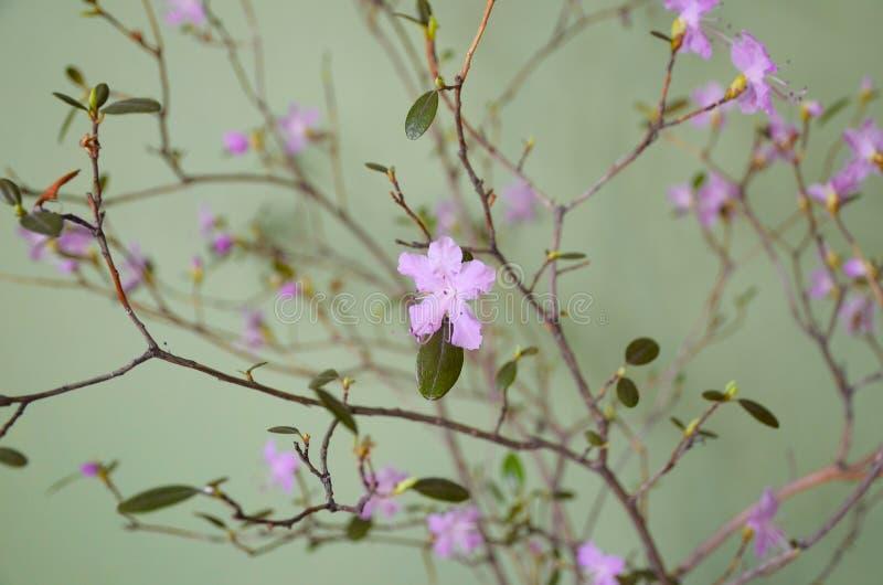 在一个花瓶的开花的杜鹃花ledebourii反对绿色墙壁背景 库存图片