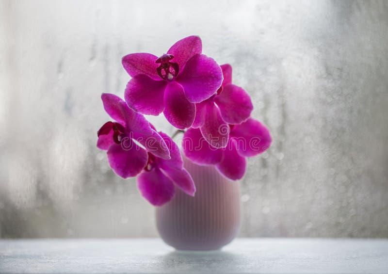 在一个花瓶的美丽的桃红色兰花在窗口特写镜头的背景 E 与bokeh的异乎寻常的桃红色花从雨 库存照片