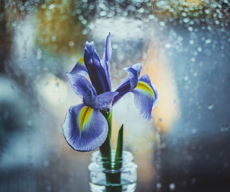 在一个花瓶的荷兰紫色虹膜由窗口 在蓝色被弄脏的背景的明亮的虹膜与水下落 宏观的Bokeh,特写镜头 库存照片