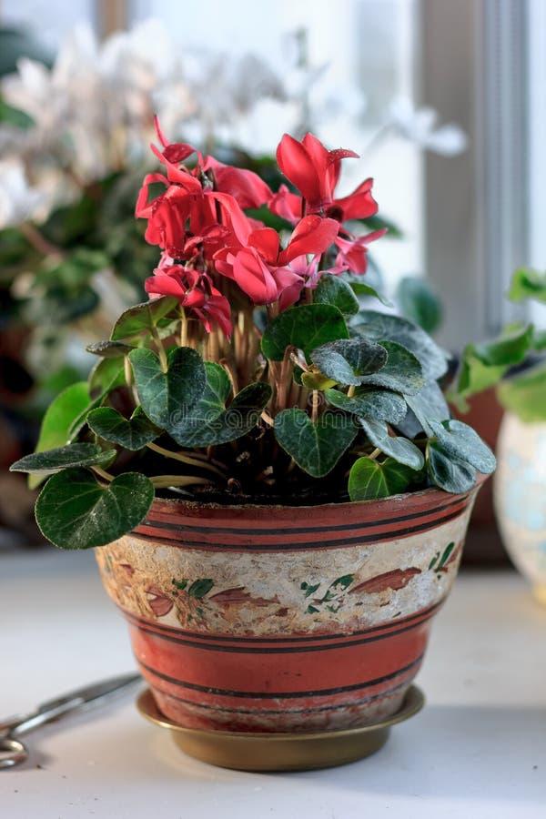 在一个花盆的美丽的桃红色或红色仙客来作为在家植物 免版税库存照片