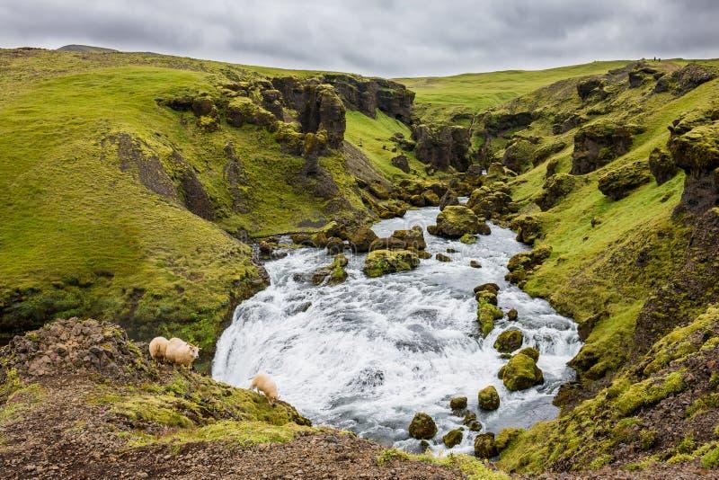 在一个草甸中间的洪流在有绵羊的冰岛 免版税库存图片
