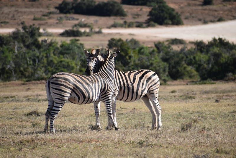 在一个草甸的一对美好的斑马夫妇在南非 免版税图库摄影