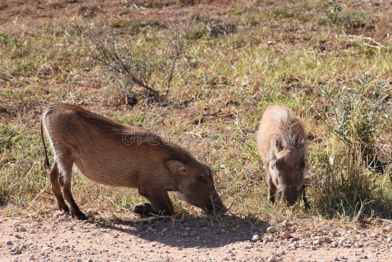 在一个草甸的两棕色warthogs Addo大象的在科尔切斯特,南非停放 库存图片