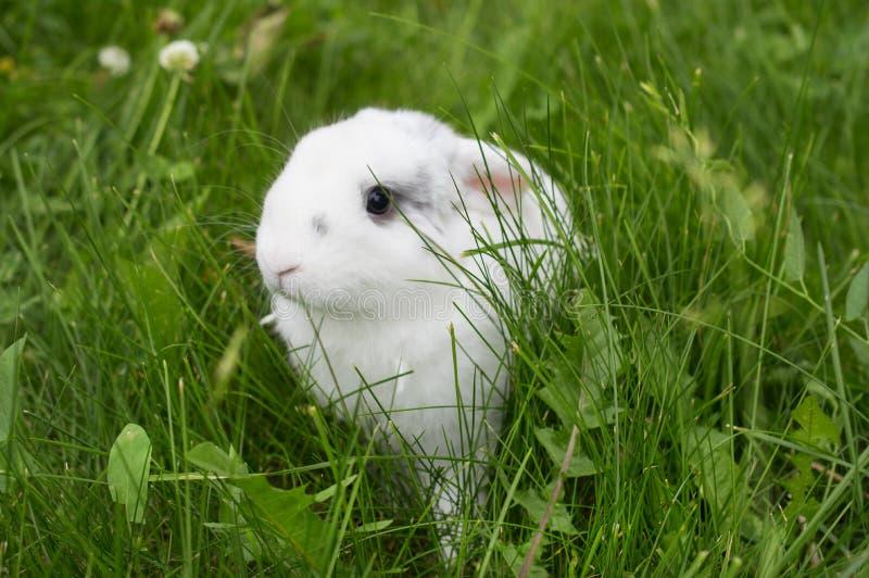 在一个草甸的居住的兔宝宝在春天 r 库存图片