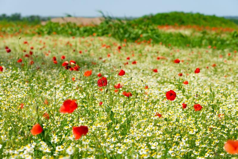 在一个草甸的红色鸦片有很多戴西的或春黄菊和矢车菊在金黄阳光,丰盈野花背景下 库存图片