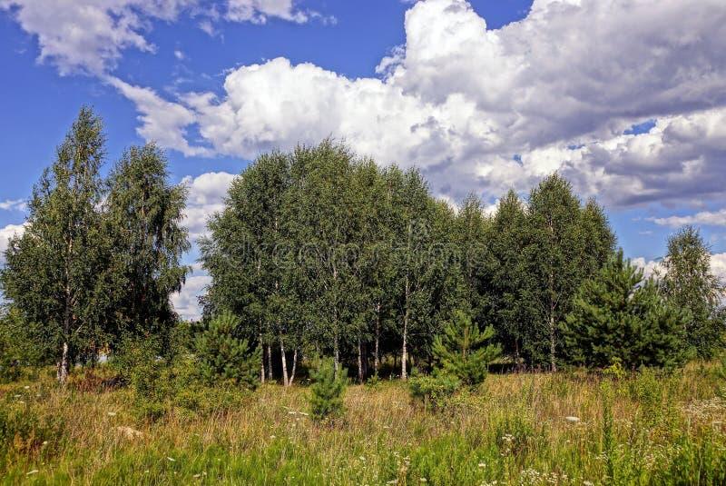 在一个草甸的草在反对天空和云彩的桦树树丛前面 免版税库存照片