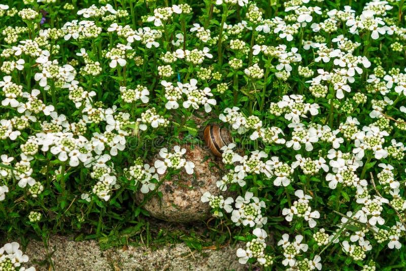 在一个草甸的蜗牛有白花的 免版税库存图片