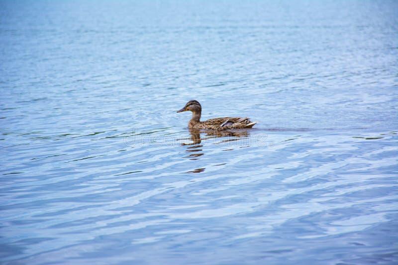 在一个蓝色湖的浮动鸭子 免版税库存照片