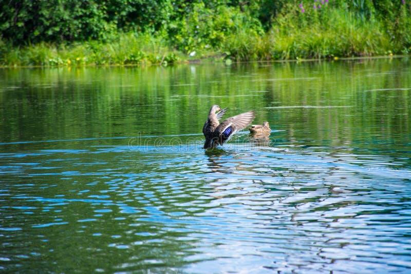 在一个蓝色湖的浮动鸭子 库存图片