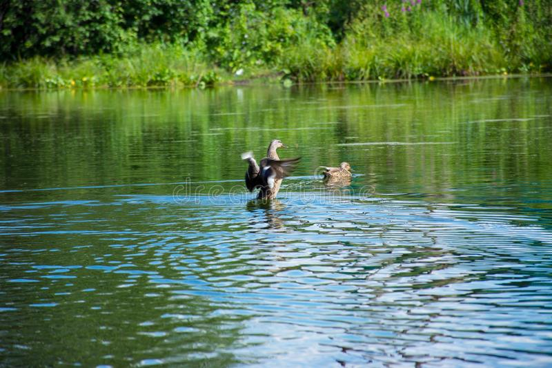 在一个蓝色湖的浮动鸭子 免版税库存图片