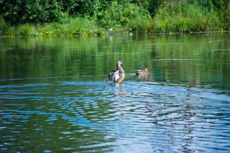 在一个蓝色湖的浮动鸭子 免版税图库摄影