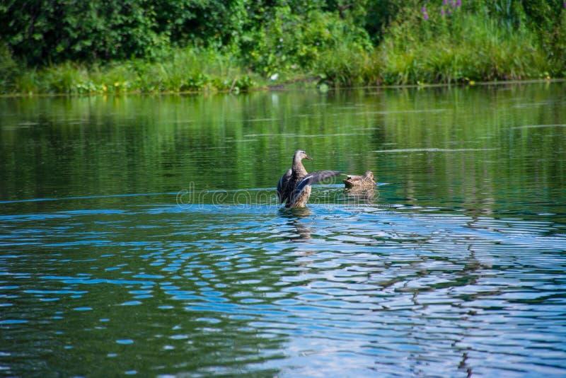 在一个蓝色湖的浮动鸭子 库存照片