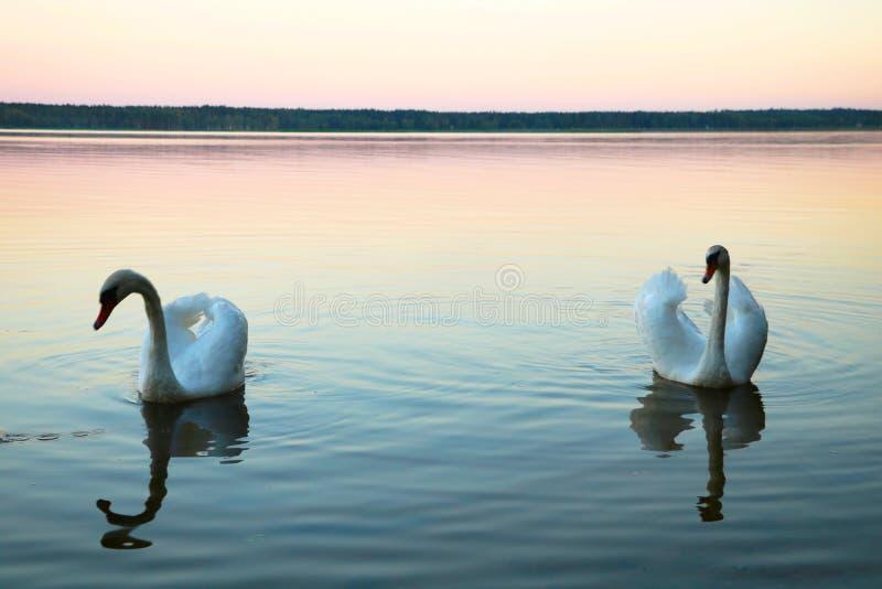 在一个蓝色湖的白色天鹅 与家庭的美丽的白色天鹅在天鹅湖,言情 免版税库存图片