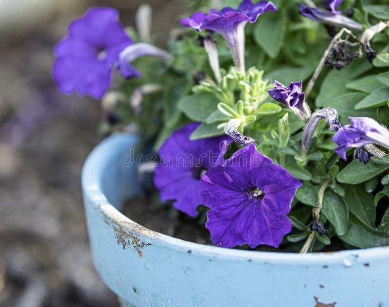 在一个蓝色罐的紫色喇叭花 库存照片