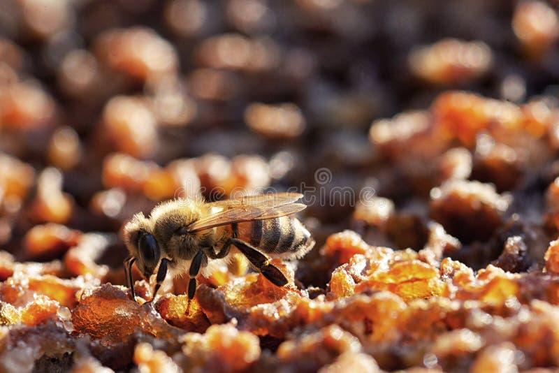在一个蜂箱的蜂在蜂窝 免版税库存图片