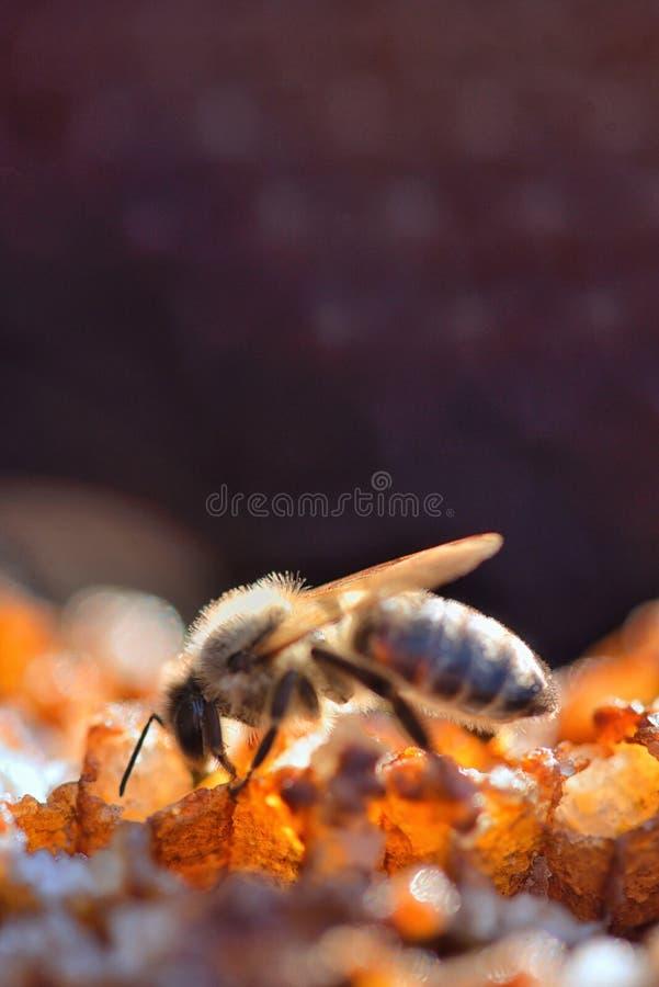 在一个蜂箱的蜂在蜂窝 库存照片