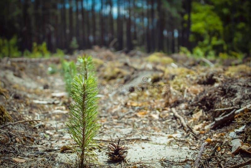 在一个被削减的森林部分的一年轻松树 库存照片