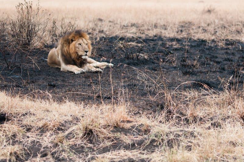 在一个被烧的领域的狮子 库存照片