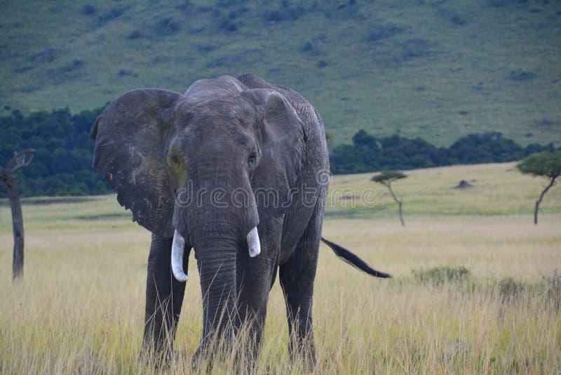 在一个象草的平原的大象 免版税库存照片
