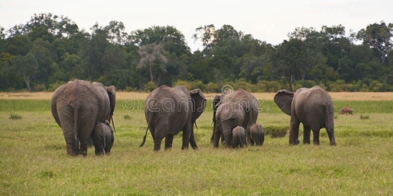 在一个象草的平原的大象 库存照片