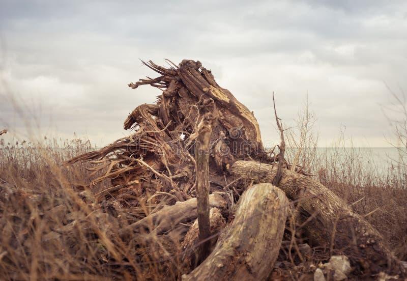 在一个象草的领域的一个被翻转的树桩 图库摄影