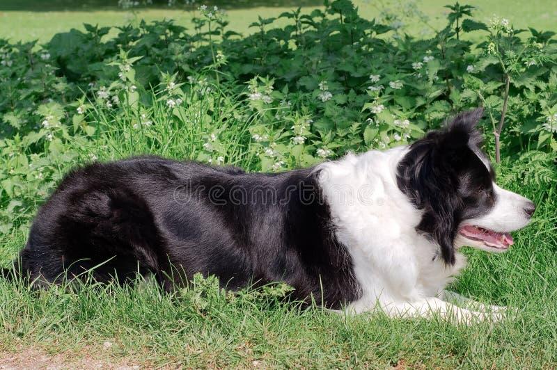 在一个象草的领域的一只博德牧羊犬 免版税库存图片