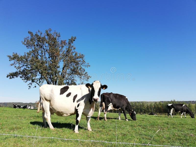 在一个象草的领域的黑白母牛在一个明亮和晴天在荷兰 免版税库存照片