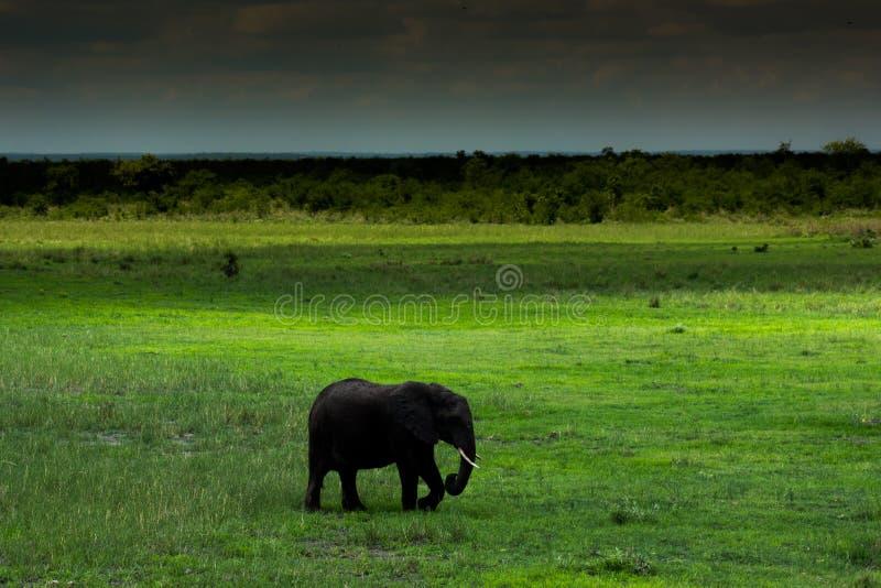 在一个豪华的洪泛区的大象 库存照片