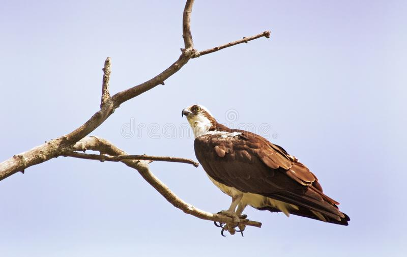 在一个贫瘠分支栖息的白鹭的羽毛鸷 库存图片