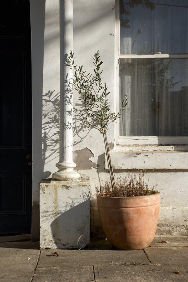 在一个赤土陶器罐的橄榄树在对一个老大厦的入口外边 免版税库存照片