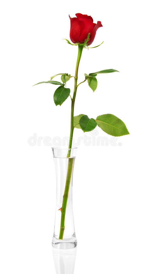 在一个透明花瓶的猩红色玫瑰 免版税库存照片