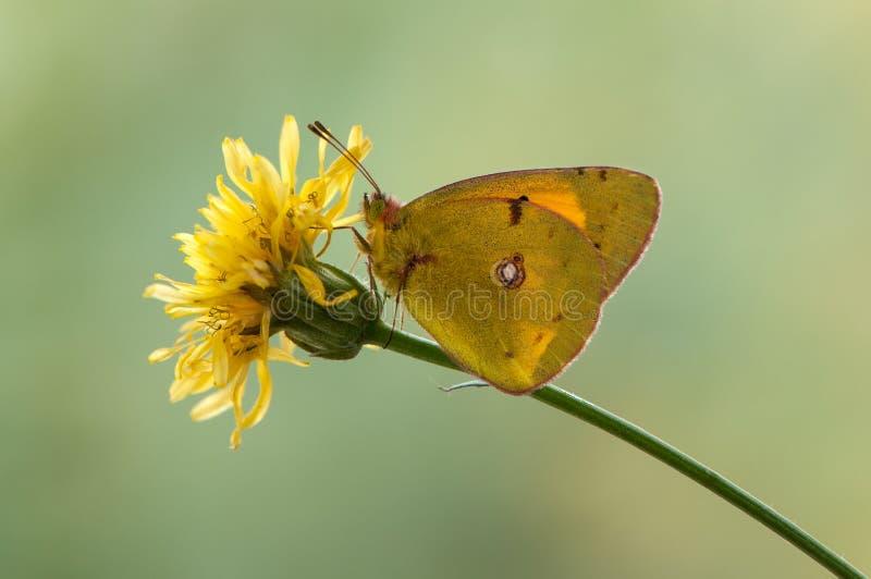 在一个野花蒲公英的黄色蝴蝶Colias hyale在一个夏日 免版税图库摄影