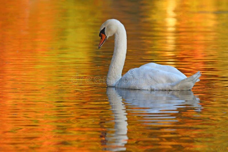 在一个金黄池塘的天鹅 免版税库存照片