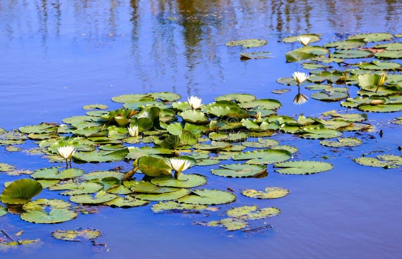 在一个镇静平静的场面的一个蓝色池塘浇灌lillies 免版税库存照片