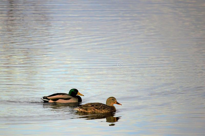 在一个镇静池塘的成熟雄鸭&母鸡野鸭在博伊西爱达荷 库存图片