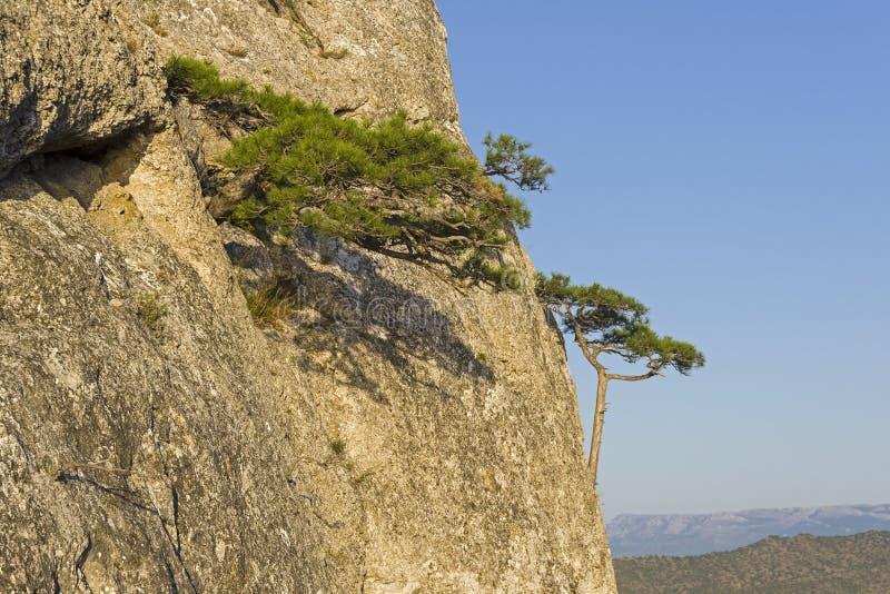 在一个陡峭的岩石倾斜的小寡妇杉木 免版税库存照片
