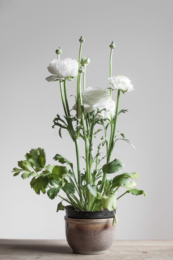 在一个陶瓷罐的白色春天花。毛茛属。 库存图片