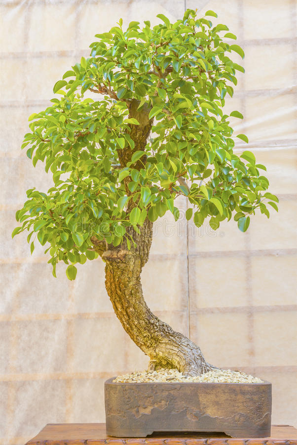 在一个陶瓷罐的绿色盆景树 免版税库存图片