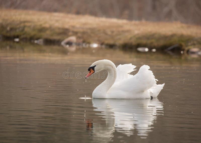 在一个静池的疣鼻天鹅游泳有它的` s反射在水中 免版税库存照片