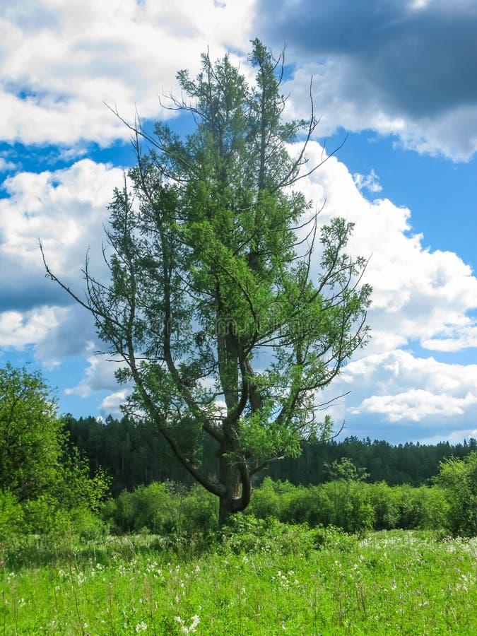 在一个领域中间的偏僻的树在自然公园Olenyi溪在斯维尔德洛夫斯克地区 免版税图库摄影