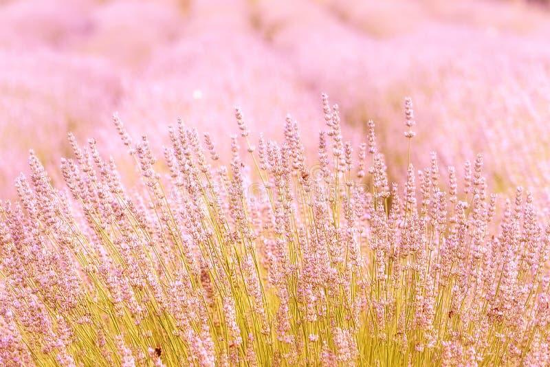 在一个领域特写镜头的开花的淡紫色,在夏天在阳光下在日落 库存图片