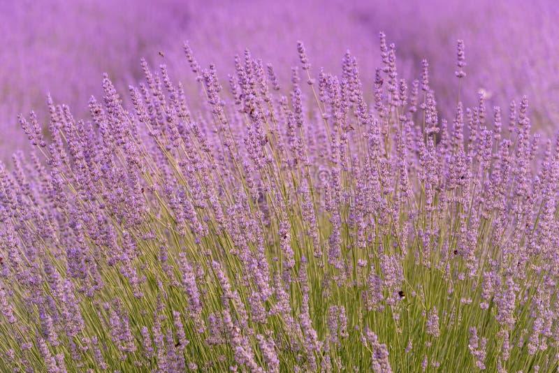 在一个领域特写镜头的开花的淡紫色,在夏天在阳光下在日落 库存照片