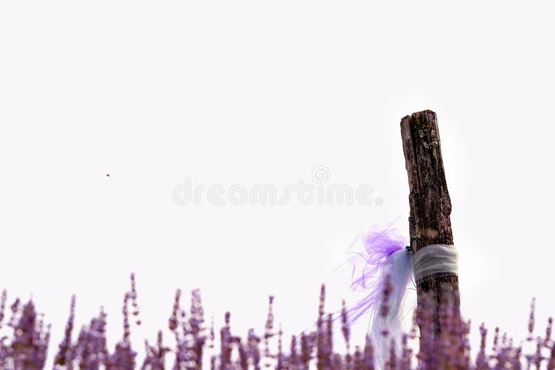 在一个领域特写镜头的开花的淡紫色,在夏天在阳光下在日落 免版税图库摄影