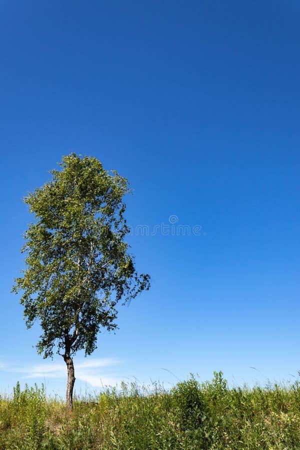 在一个领域的一棵偏僻的树在一明亮的好日子 ?? 莫斯科地区俄罗斯 库存图片