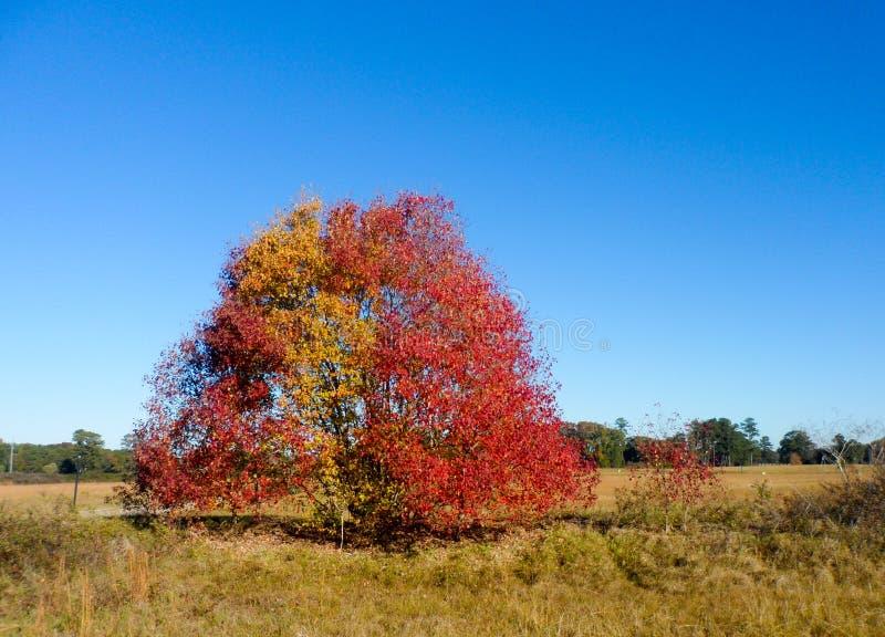 在一个领域的一棵树在南部 库存图片