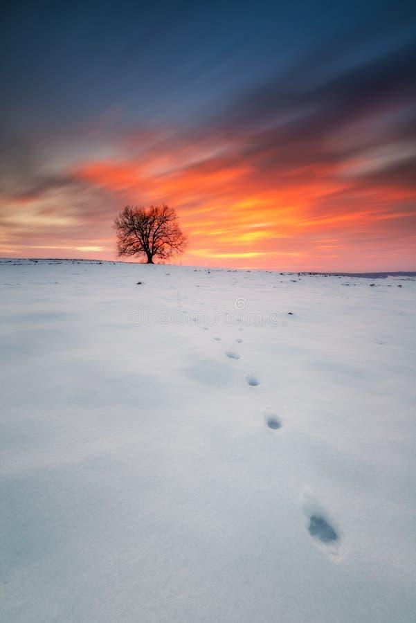 在一个领域的单独树在日落,冬天季节 库存照片