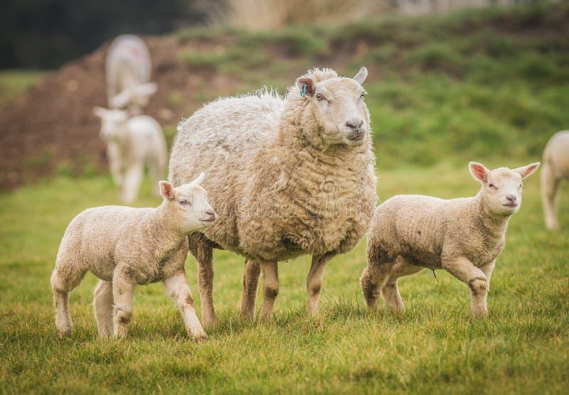 在一个领域的双羊羔与他们的母亲 图库摄影