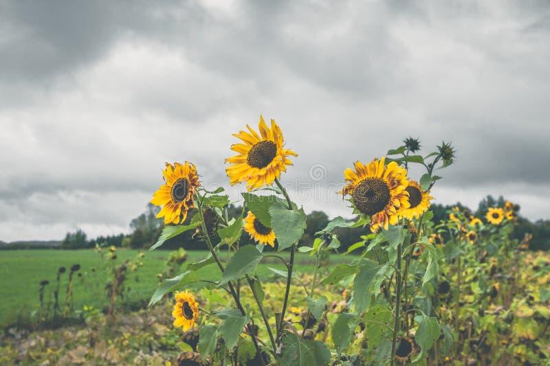 在一个领域的向日葵在多云天气 免版税库存照片