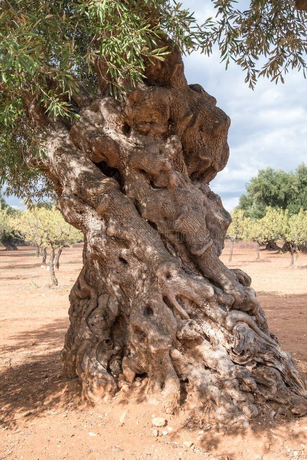在一个领域的年迈的knarled橄榄树在阿尔贝罗贝洛附近在普利亚,南意大利 免版税库存图片
